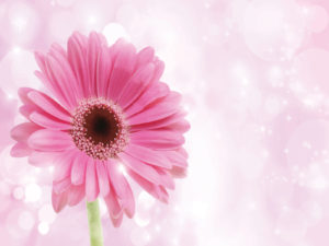 Pink Chrysanthemum PPT Backgrounds
