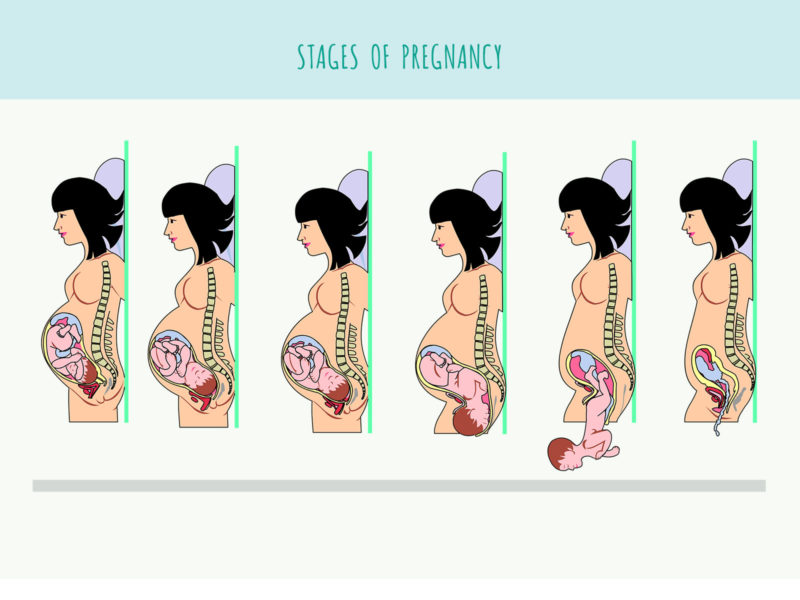 Stages of Pregnancy Background
