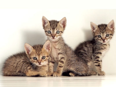 Cute Kittens Powerpoint Templates