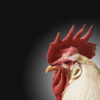 Rooster Powerpoint Backgrounds